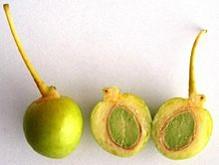 میوه ژینکو