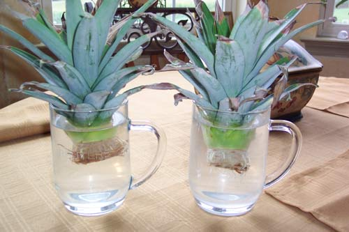 تاج آناناس در آب ریشه میدهد