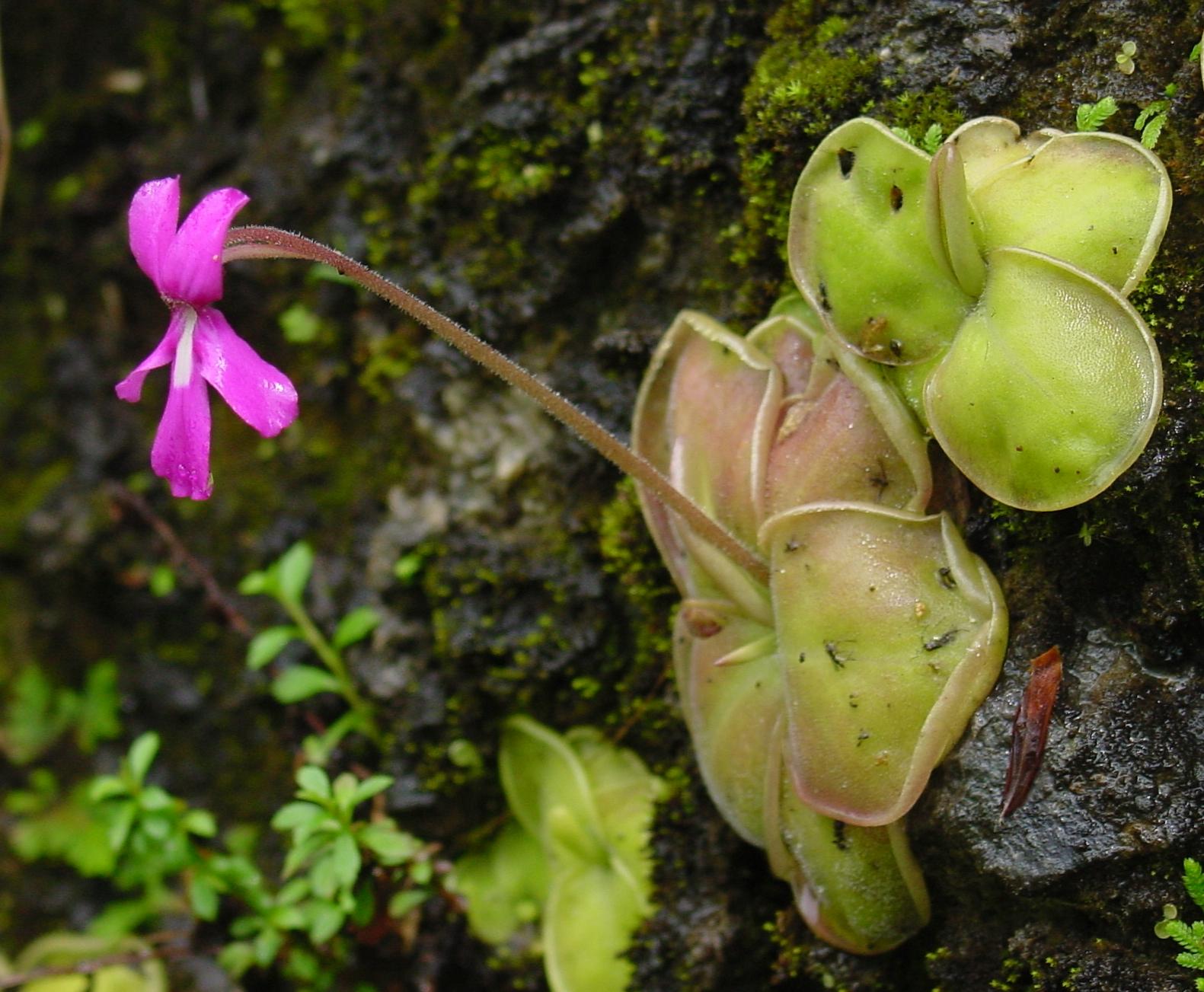 گل گوشت خوار کره ای