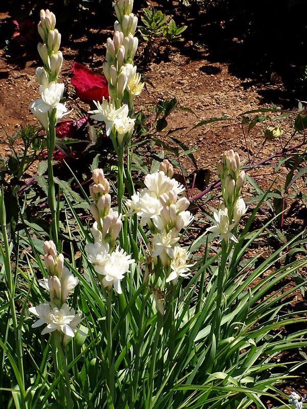 گل مریم (نگهداری + پرورش)