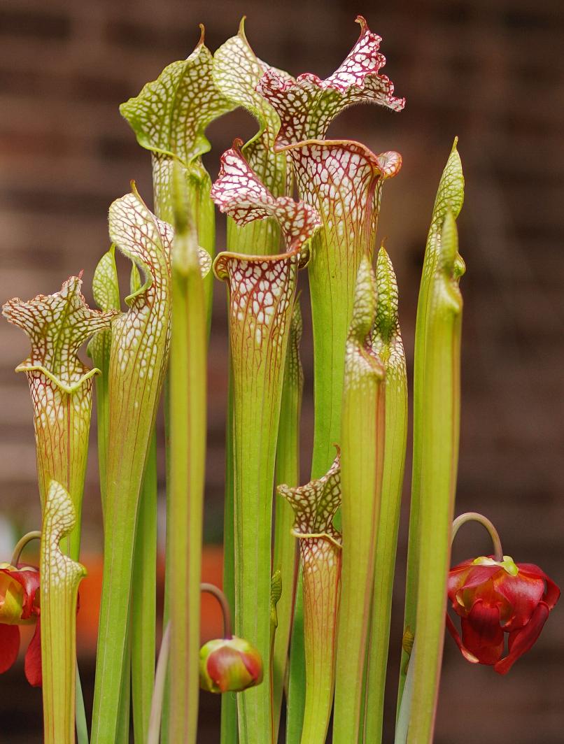 Sarracenia-leucophylla_wikimedia-org02