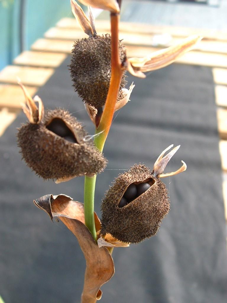 بذر گل اختر