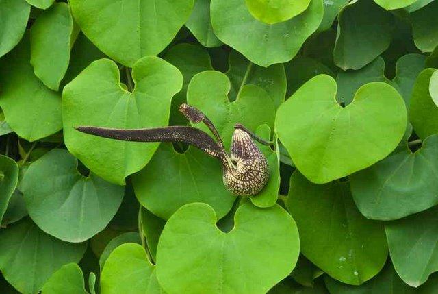 گل آریستولوخیا