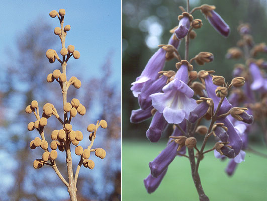 غنچه و گل پالونیا