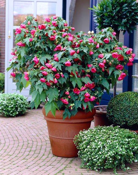 گل ابوتیلون (نگهداری + پرورش)