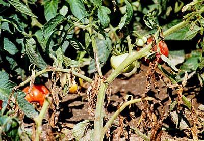 شانکر گوجه