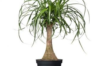 beaucarnea-recurvata-potted-plant__0121090_PE277872_S4