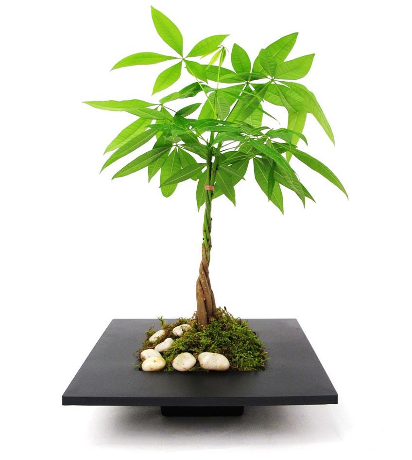 گل پاچیرا (نگهداری + پرورش)