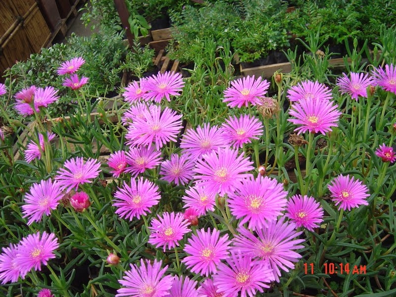 گل نازگوشتی
