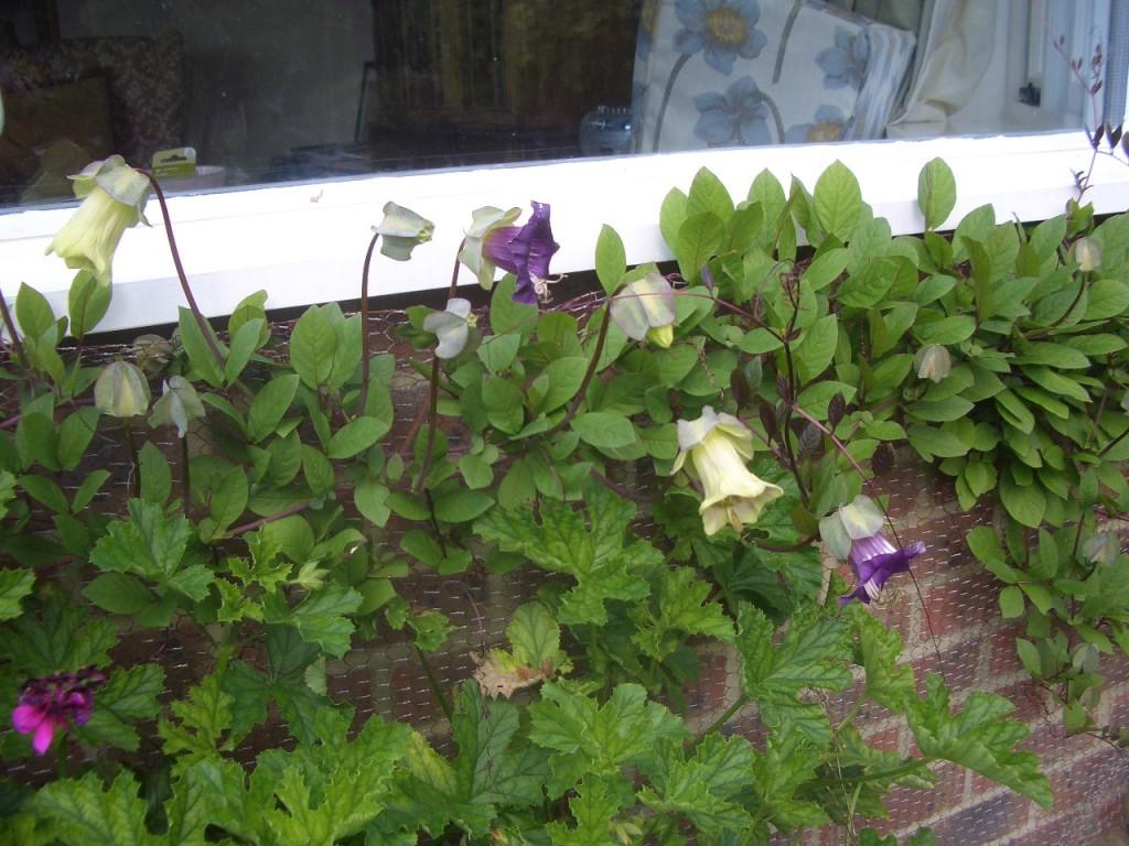 Кобея цветок фото посадка и уход