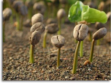 کاشت بذر گل قهوه