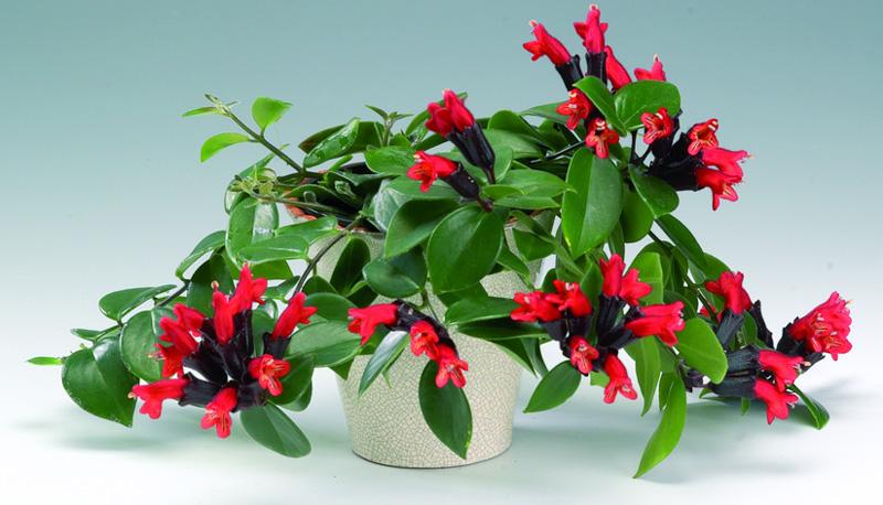 گل آشیانتوس
