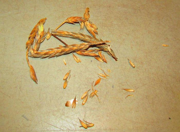 بذر کروساندرا