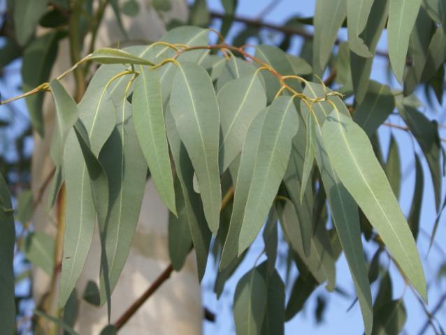 برگ اوکالیپتوس