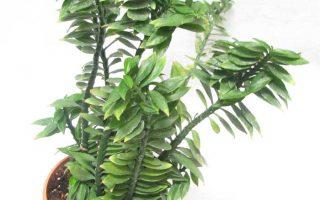 گل پدیلانتوس