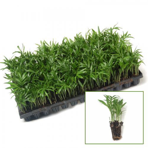 نشا حاصل از بذر شامادورا