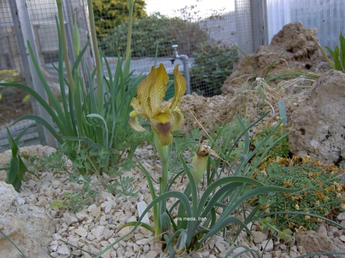 زنبق ایرانی