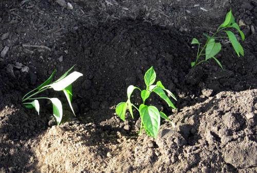 خاک هوموسی برای فلفل