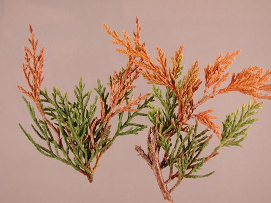 juniper_phomopsis