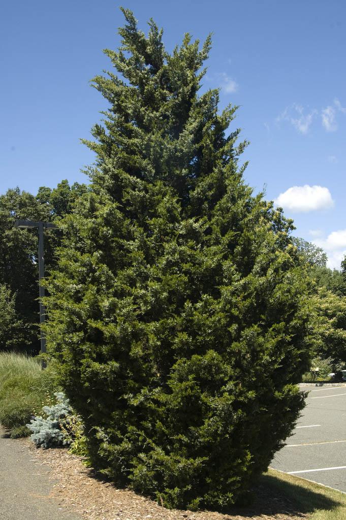 juniperus-virginiana-corcorcor