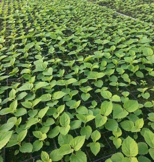 کاشت بذر در سینی کشت