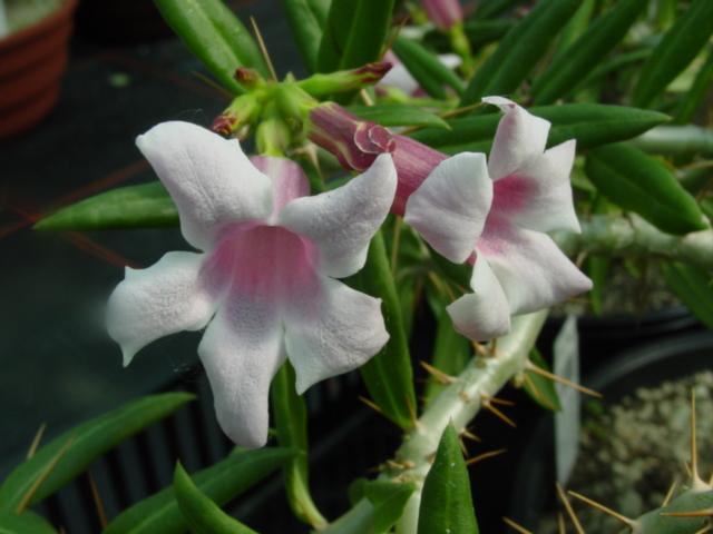 گلدهی گونه ای نخل