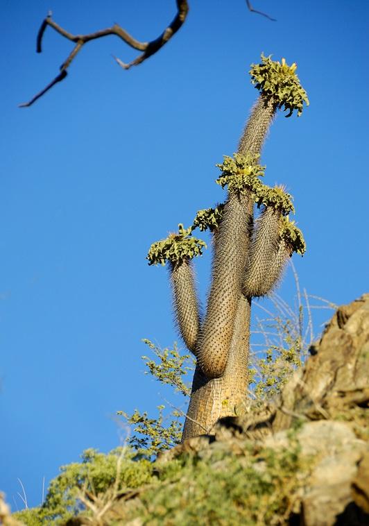 نخل ماداگاسکار در طبیعت