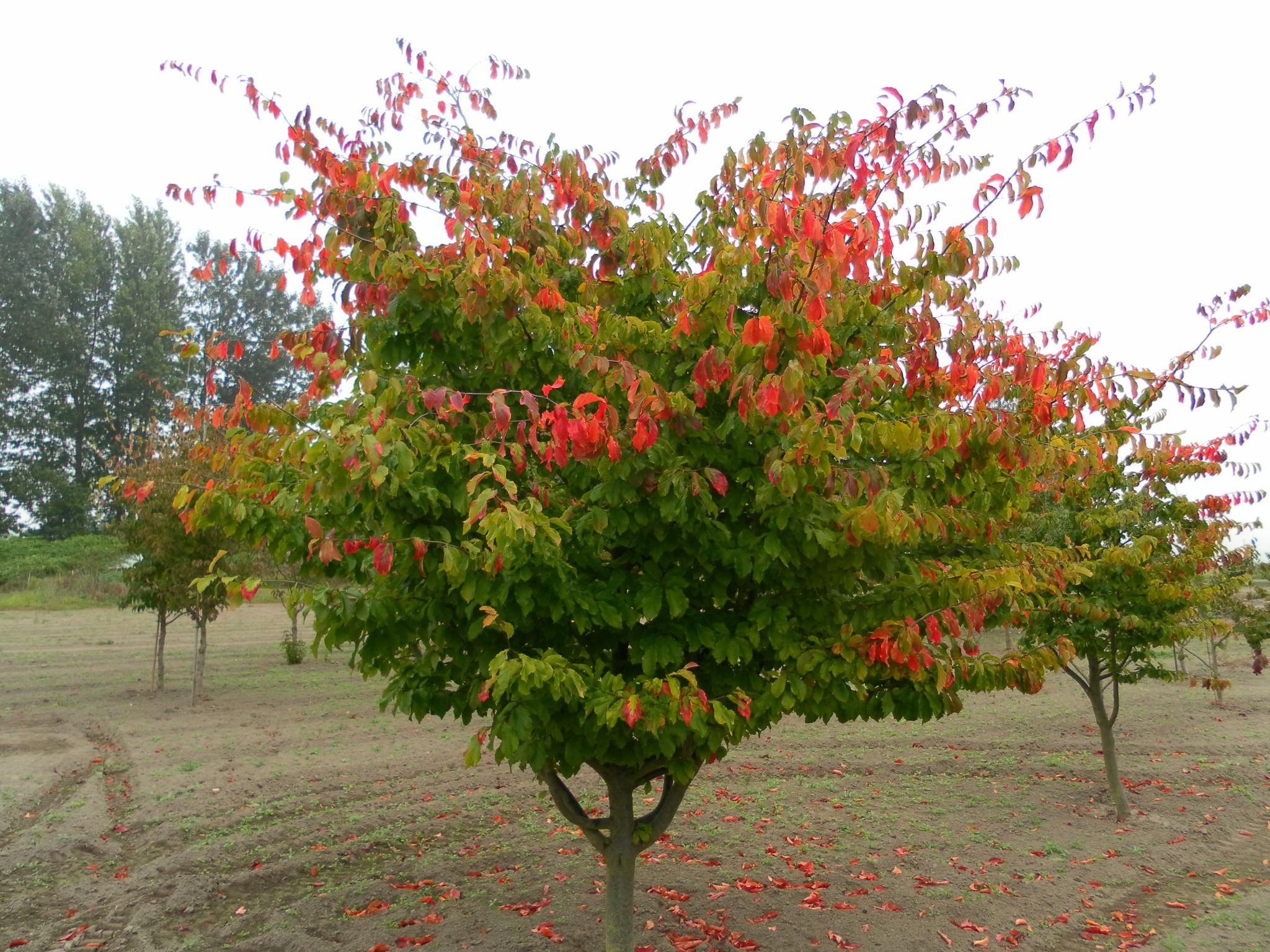 درخت انجیلی