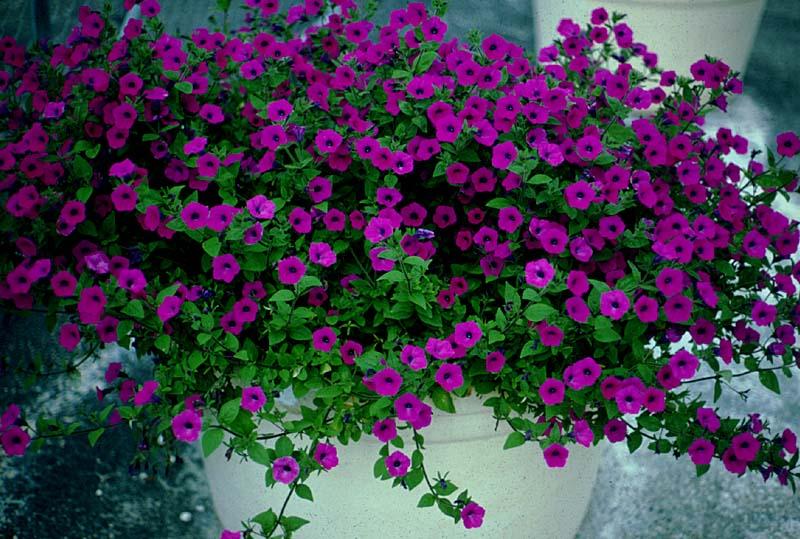اطلسی پر گل