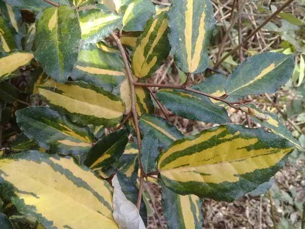 سنجد زینتی maculata