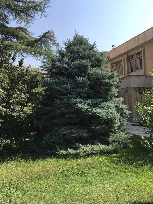 درخت کاج نوئل آبی دانشگاه تهران در کرج