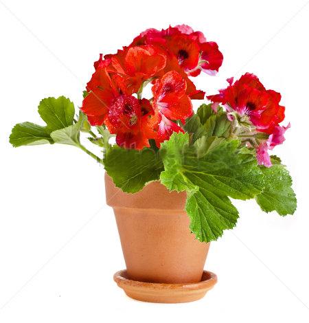 بذر گل شمعدانی