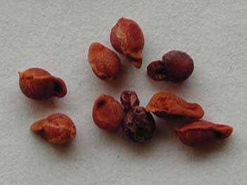 بذر زعفران