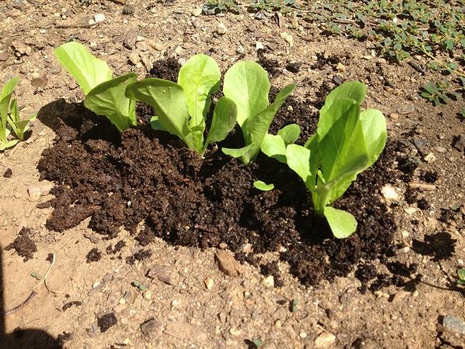 ریختن ورمی در باغچه