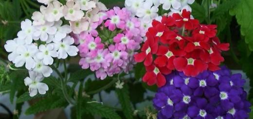 گل اژدر یا شاهپسند یکساله